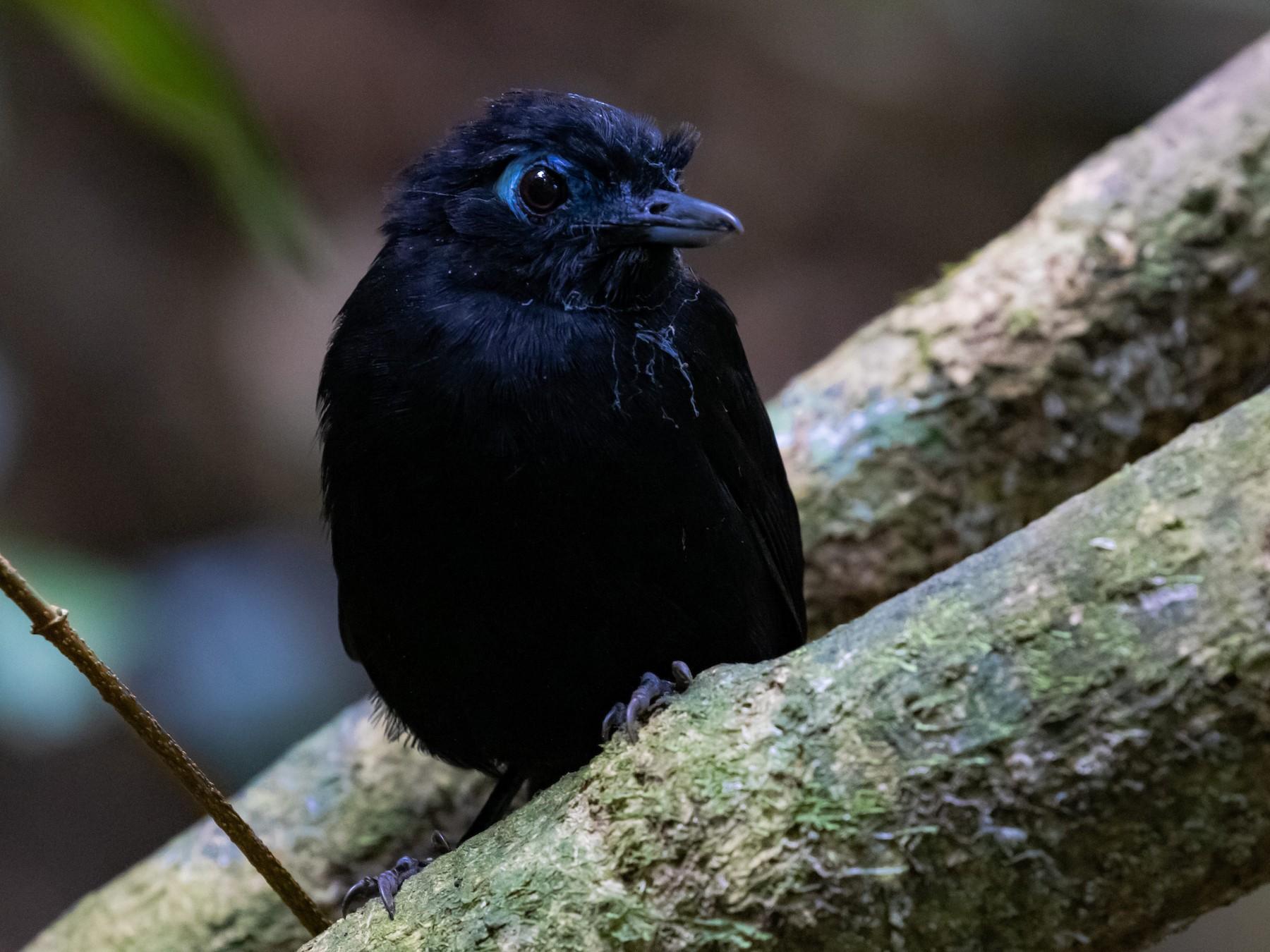 Zeledon's Antbird - David  Rodríguez Arias