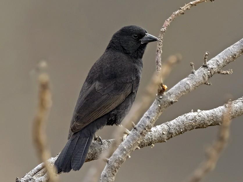 Bolivian Blackbird - Esteban Argerich