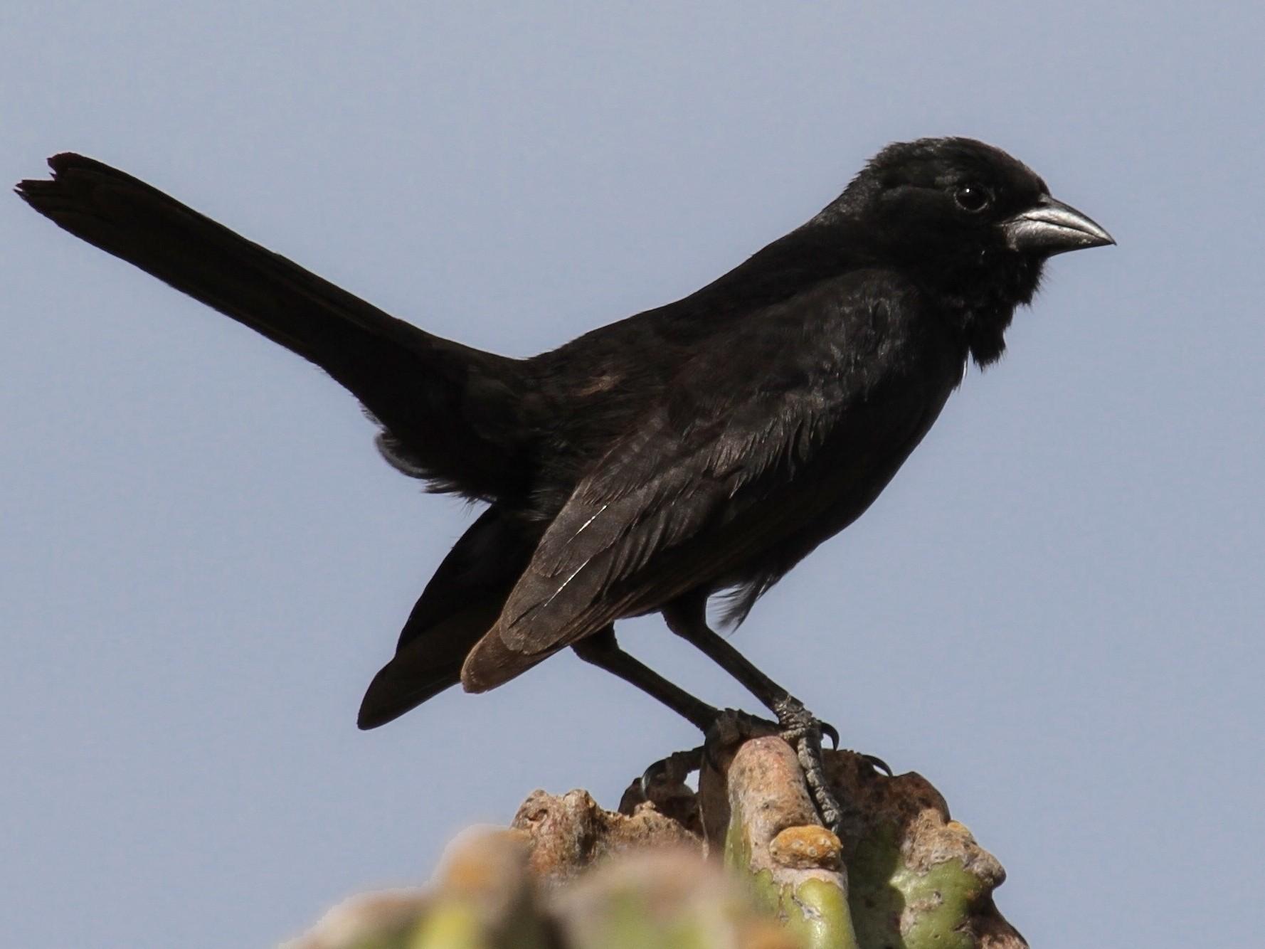 Bolivian Blackbird - Richard Greenhalgh