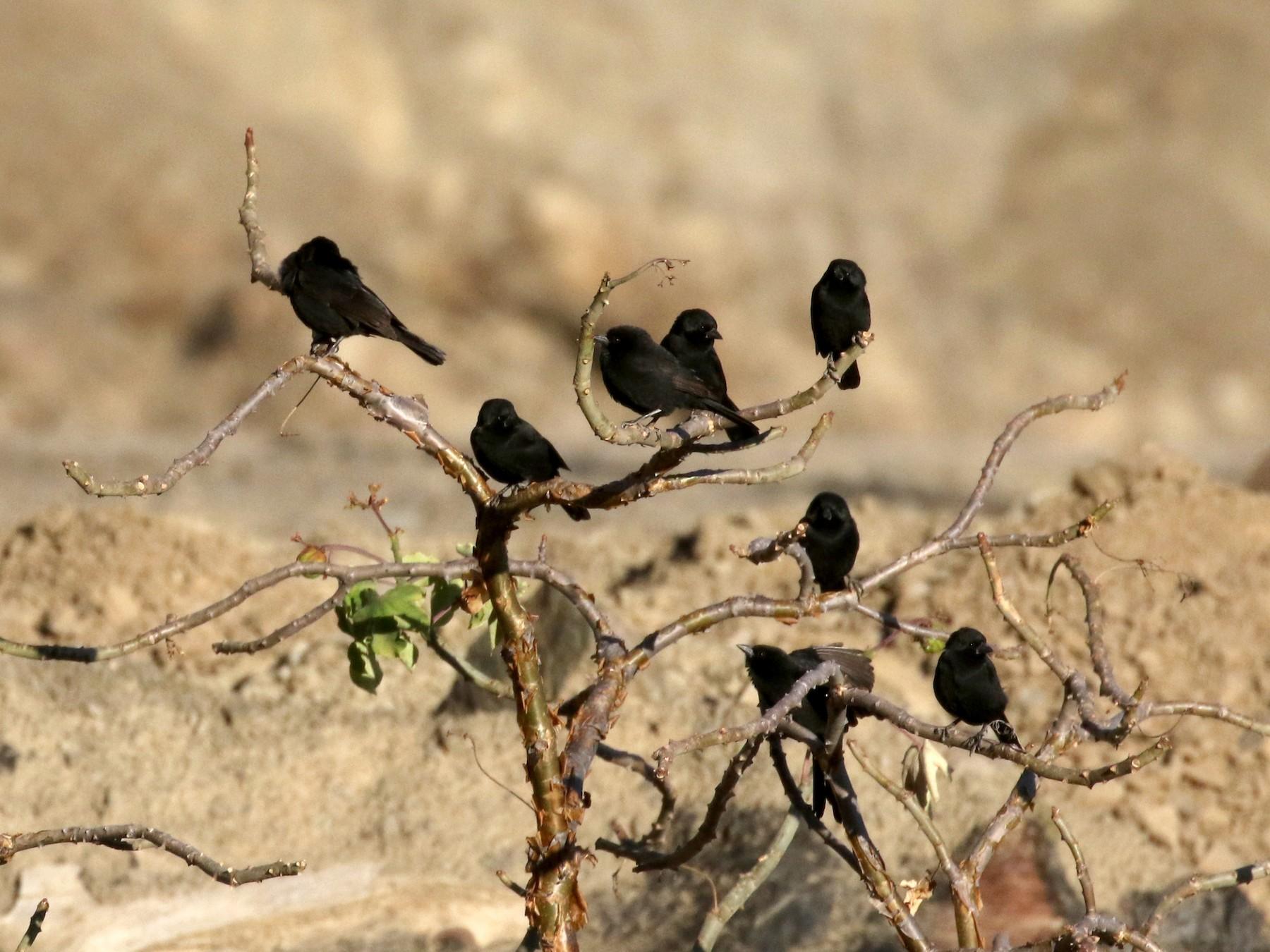 Bolivian Blackbird - Jay McGowan