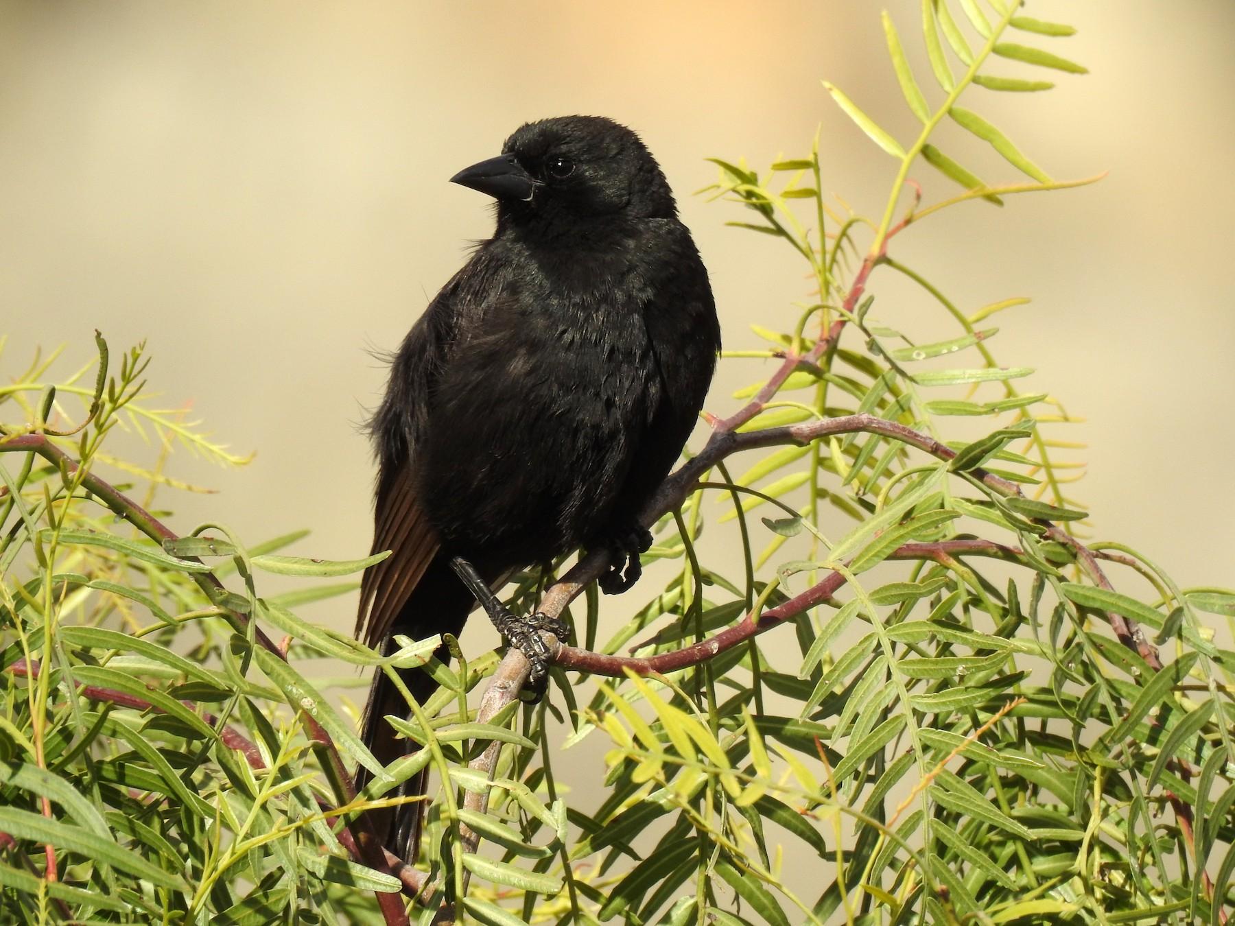 Bolivian Blackbird - Dirk Dekker
