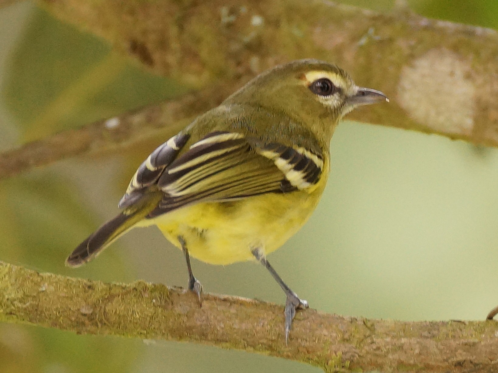 Yellow-winged Vireo - Réal  Boulet