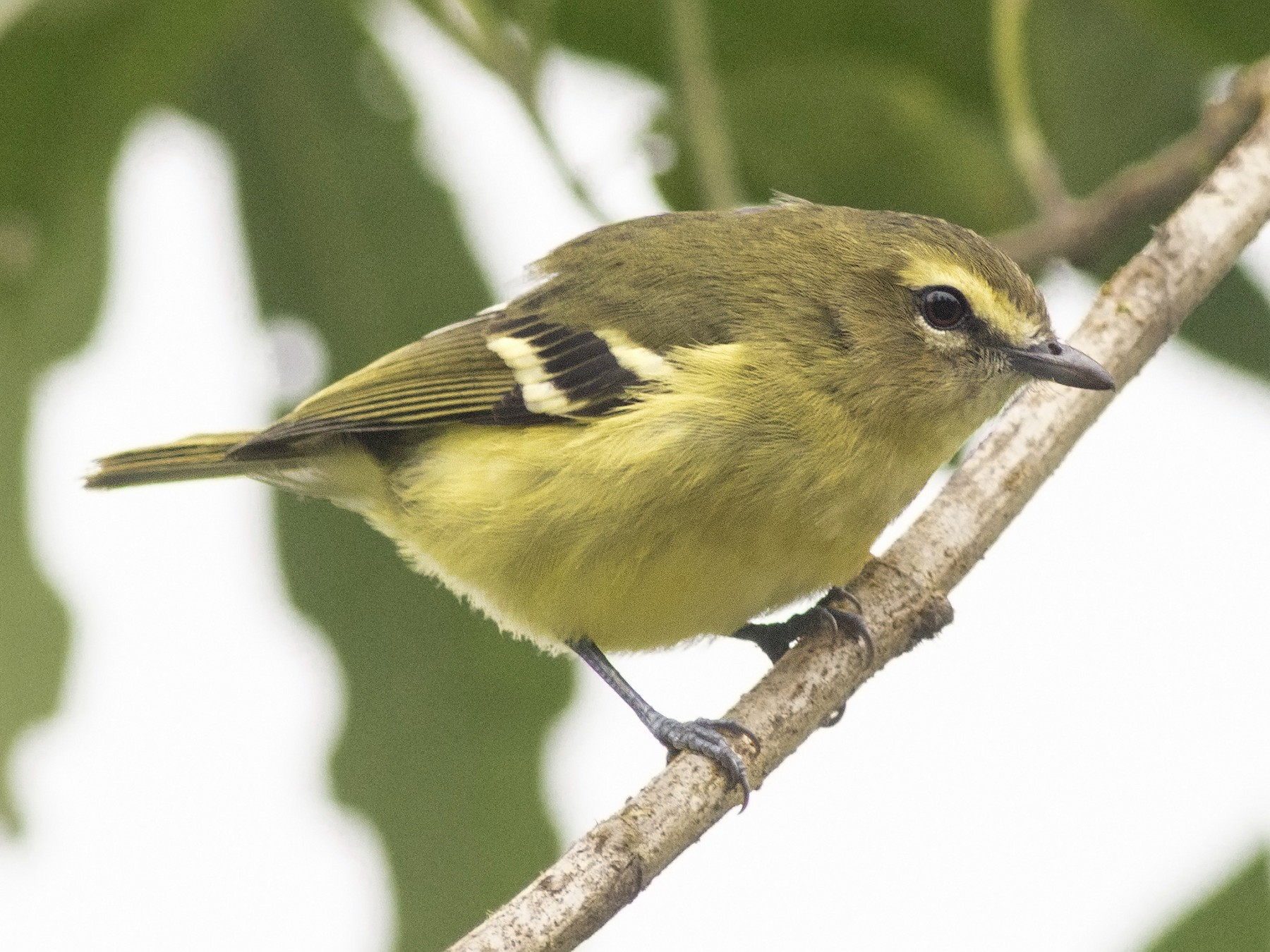 Yellow-winged Vireo - Guillermo  Saborío Vega