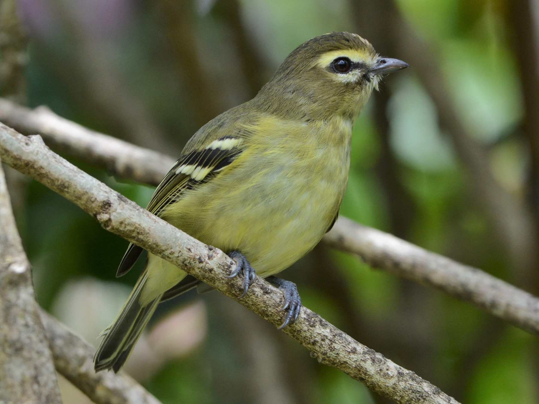 Yellow-winged Vireo - David Hollie