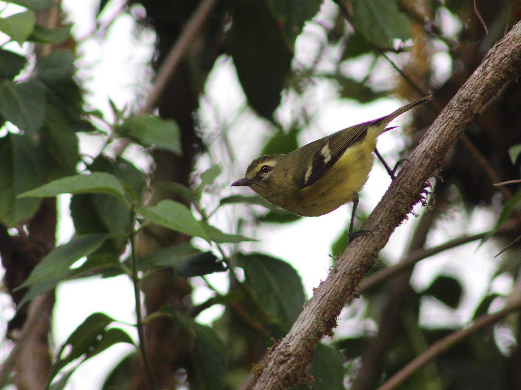 Yellow-winged Vireo - Marie Chappell