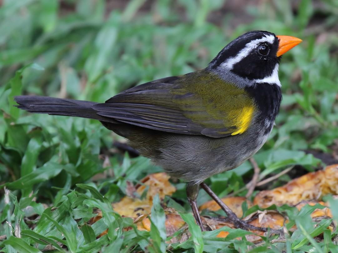 Orange-billed Sparrow - Doug Beach