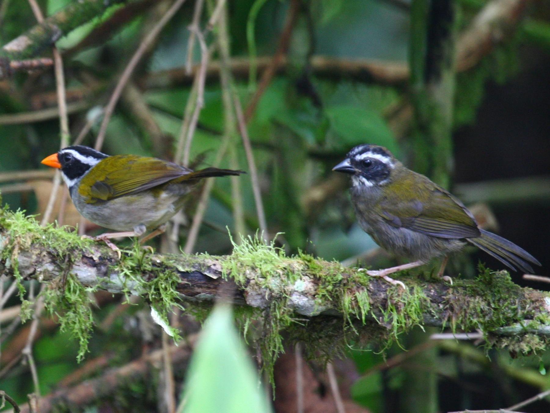 Orange-billed Sparrow - Josef Widmer