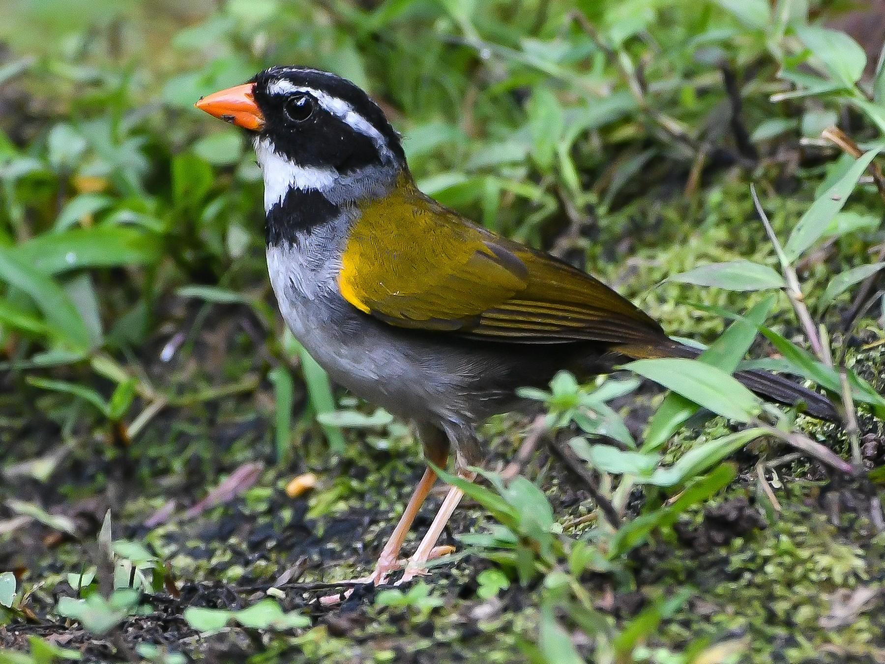 Orange-billed Sparrow - Ben Sanders