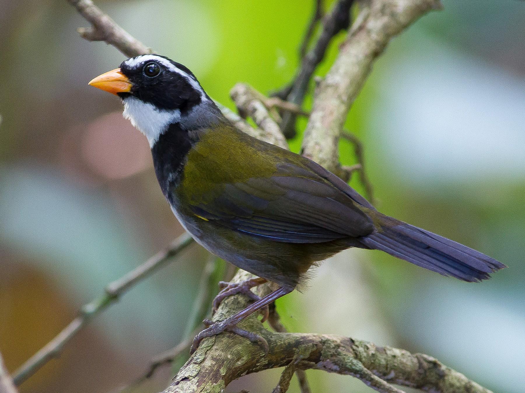 Orange-billed Sparrow - Chris Sayers