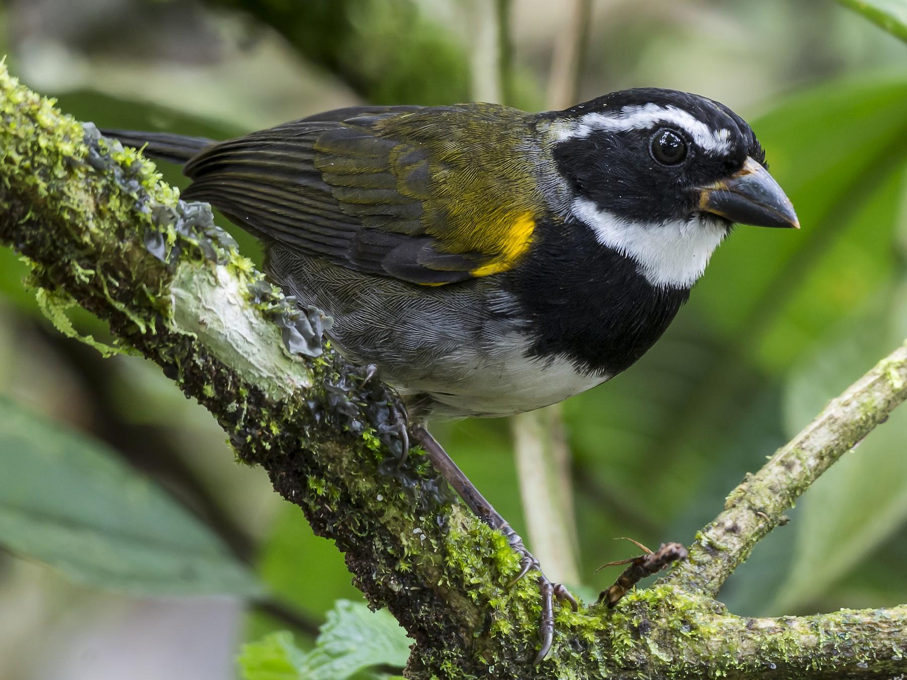 Orange-billed Sparrow - fernando Burgalin Sequeria