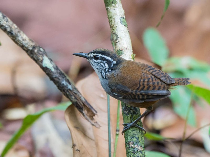 White-breasted Wood-Wren - David Southall