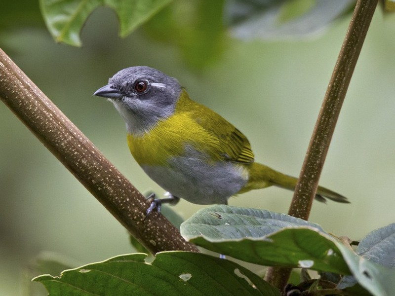 Ashy-throated Chlorospingus - Lars Petersson