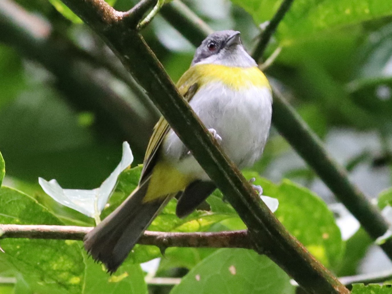 Ashy-throated Chlorospingus - Anthony Collerton