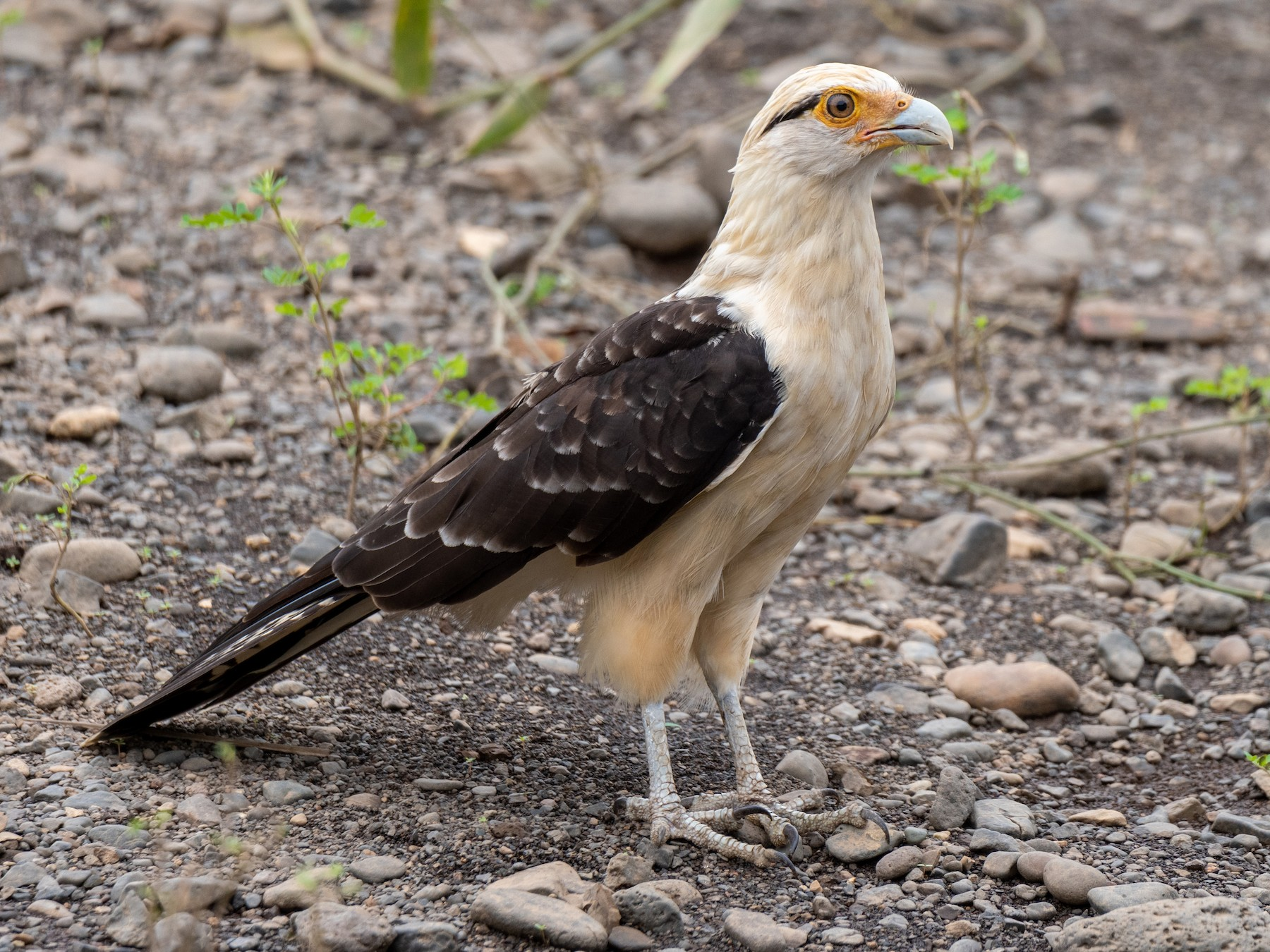 Yellow-headed Caracara - Mark Schulist