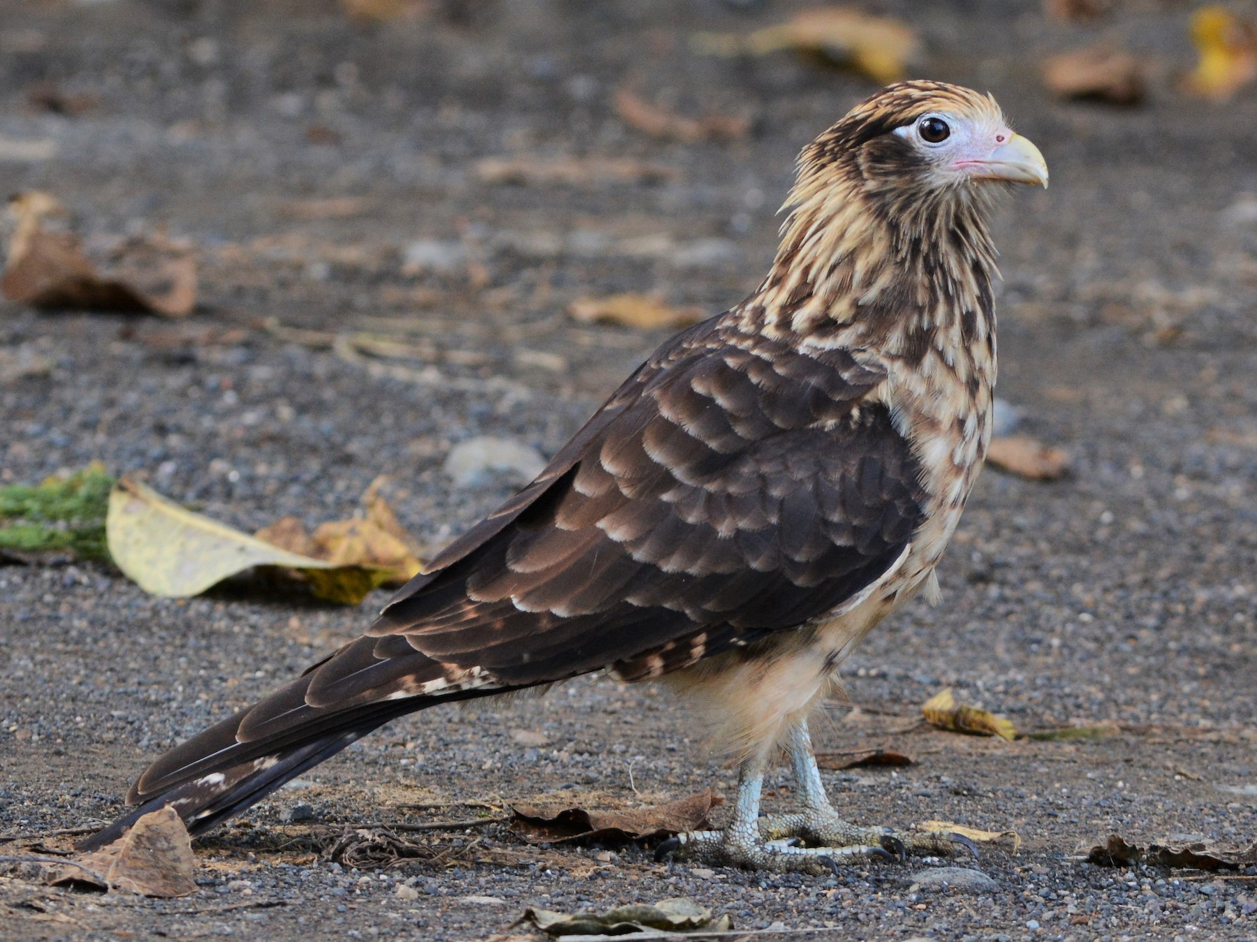 Yellow-headed Caracara - David Hollie
