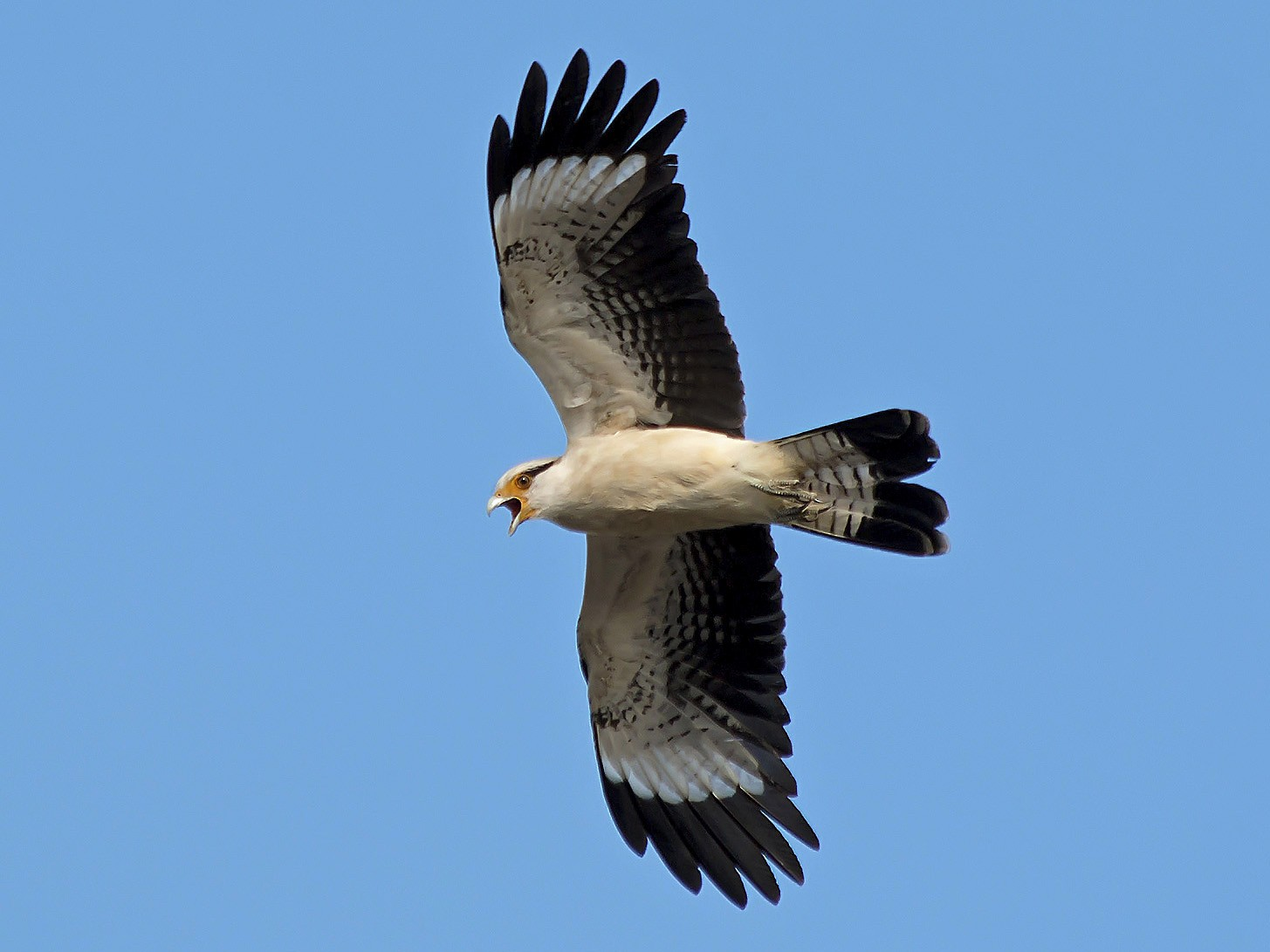 Yellow-headed Caracara - Gabriel Bonfa
