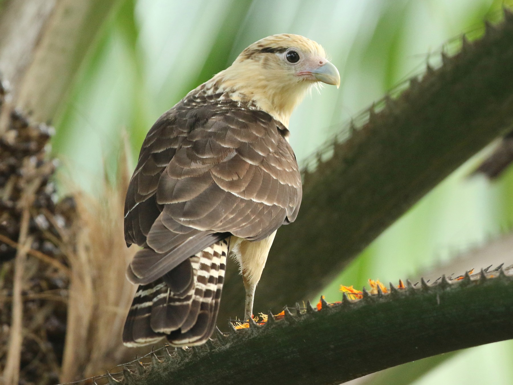 Yellow-headed Caracara - John Deitsch
