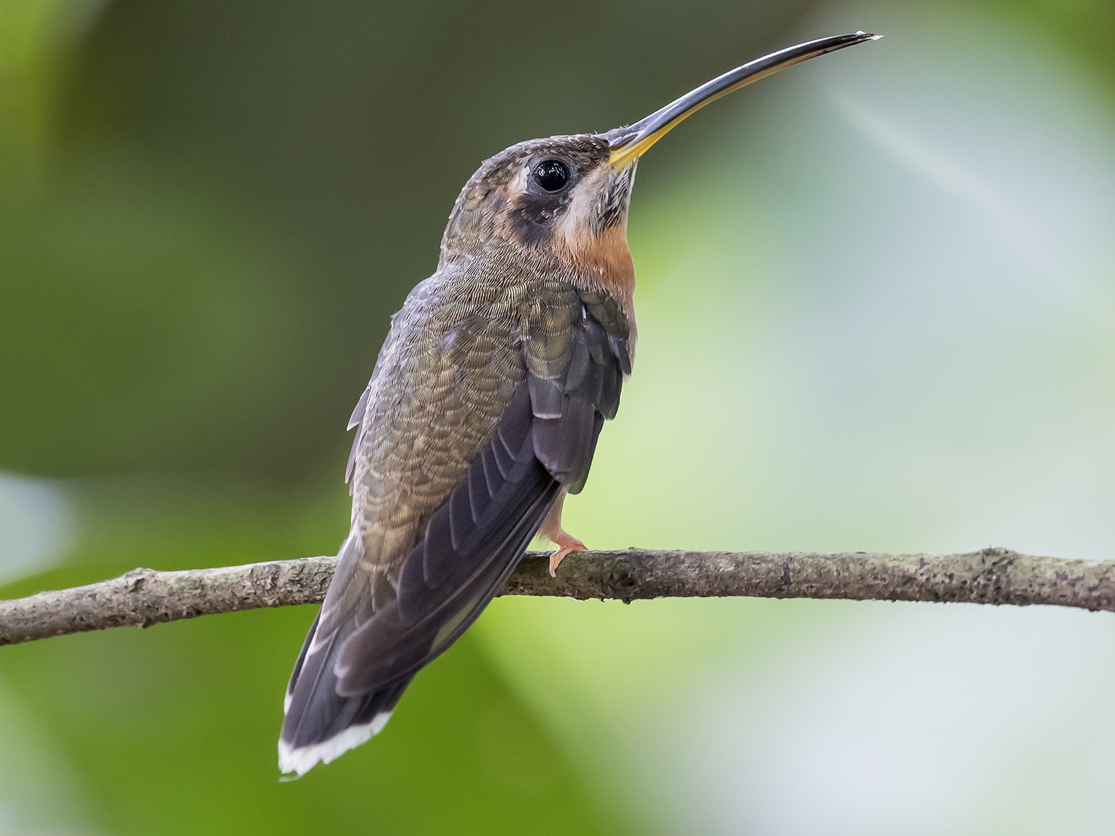 Band-tailed Barbthroat - fernando Burgalin Sequeria