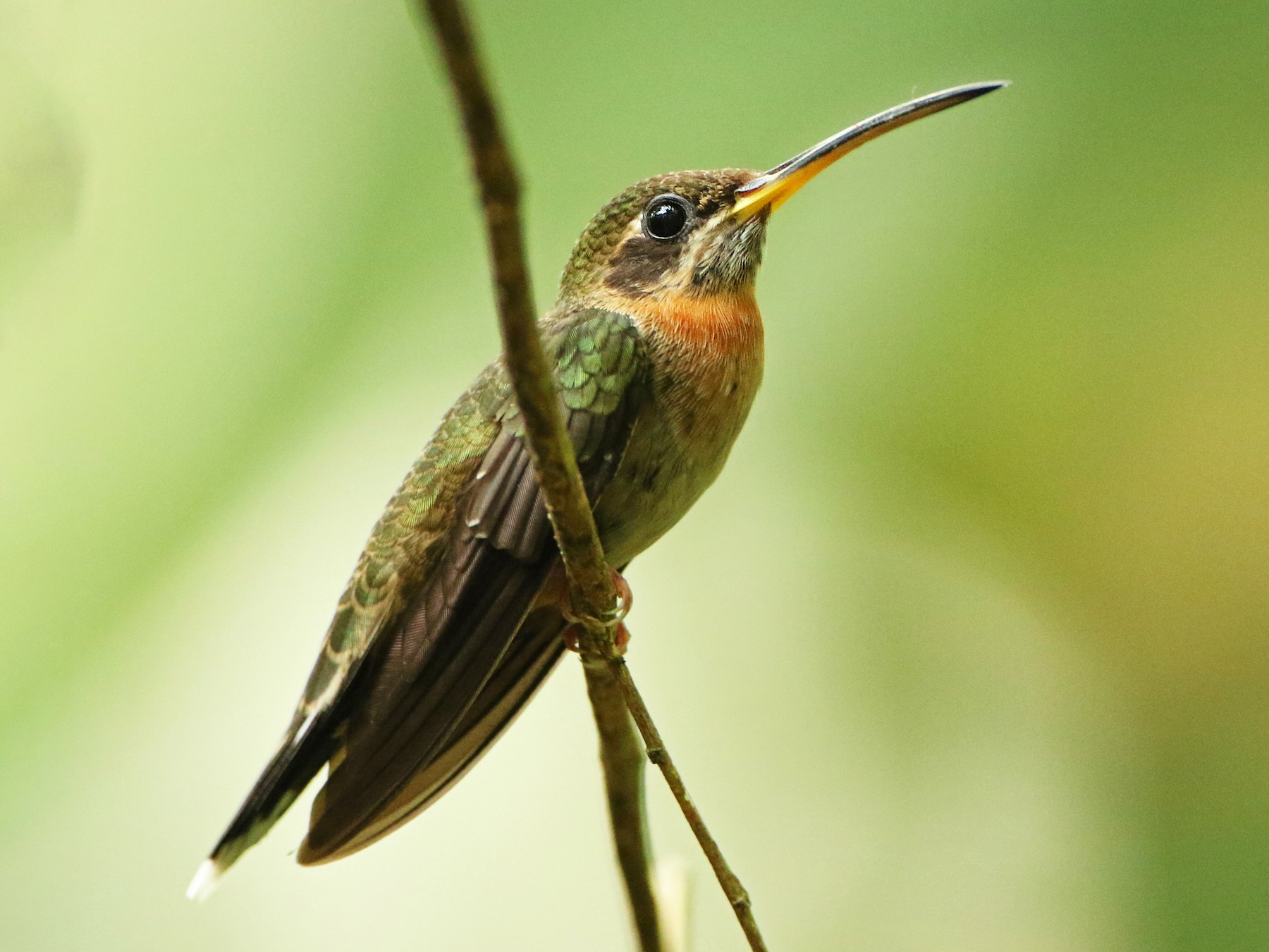 Band-tailed Barbthroat - Luke Seitz