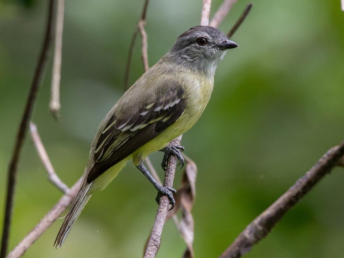 Yellow-crowned Tyrannulet - Daniel Hernandez