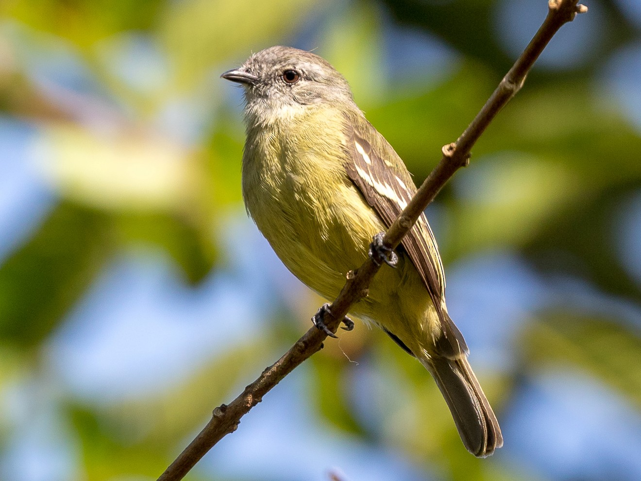 Yellow-crowned Tyrannulet - Rob Felix