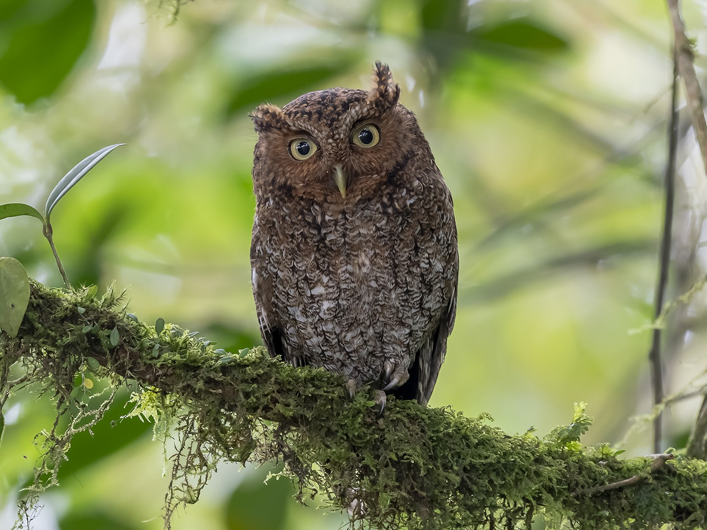 Bare-shanked Screech-Owl - fernando Burgalin Sequeria