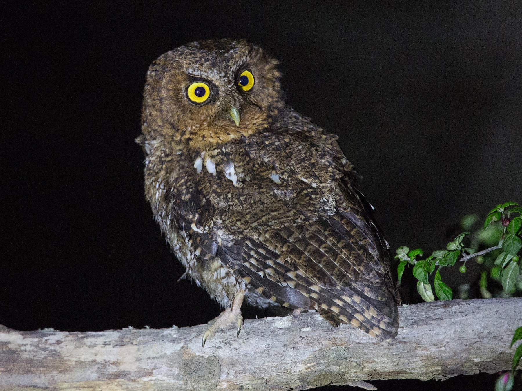 Bare-shanked Screech-Owl - Alex Burdo