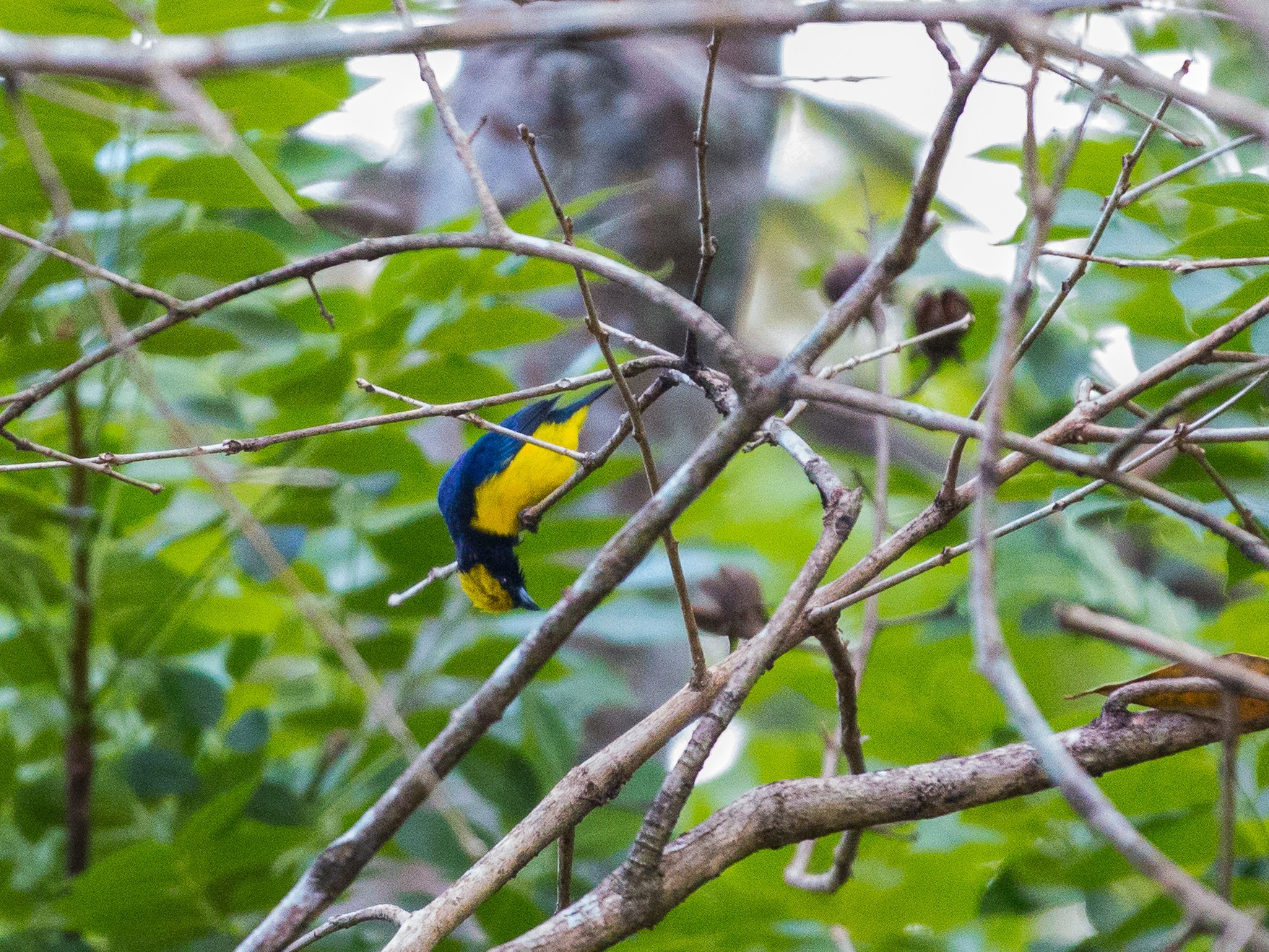 Yellow-crowned Euphonia - Andre Turcot