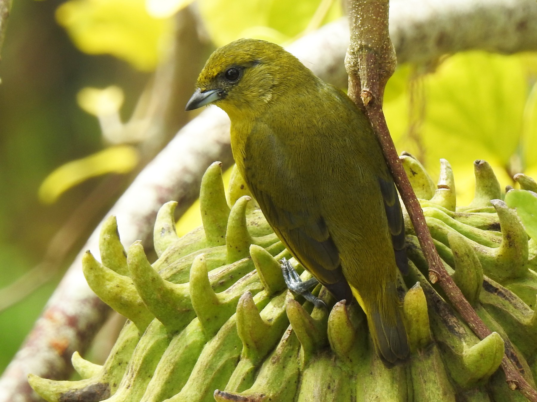 Yellow-crowned Euphonia - John and Milena Beer