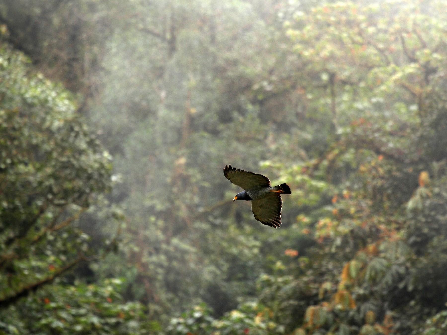 Barred Hawk - Eduardo Soler