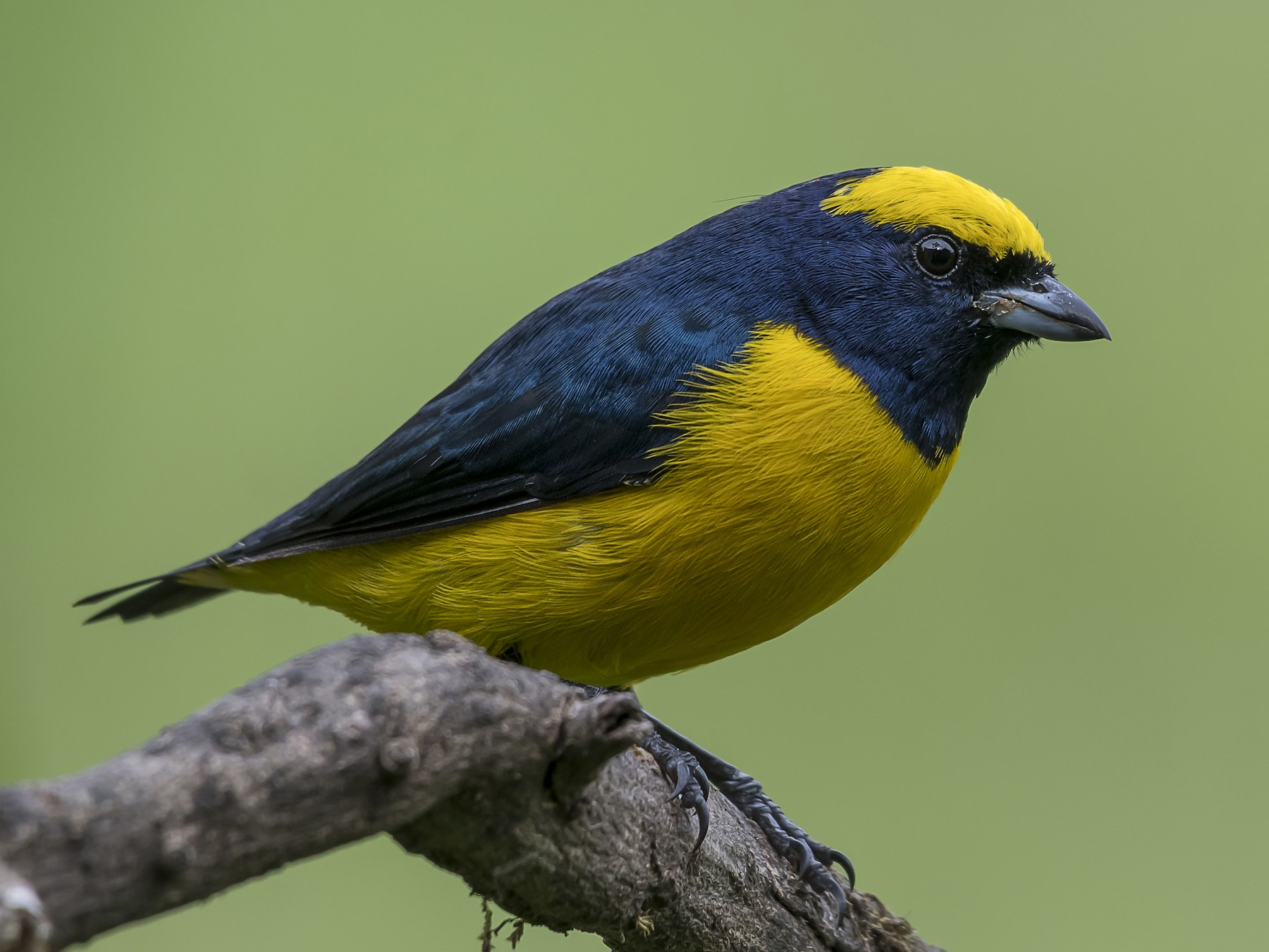 Yellow-crowned Euphonia - fernando Burgalin Sequeria