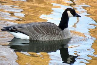 Canada Goose, ML243572121