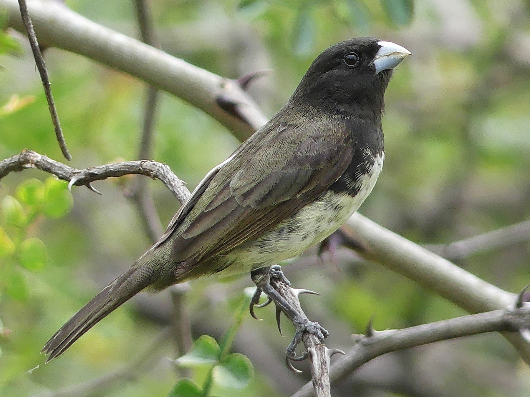 Yellow-bellied Seedeater - Jorge  Quiroga
