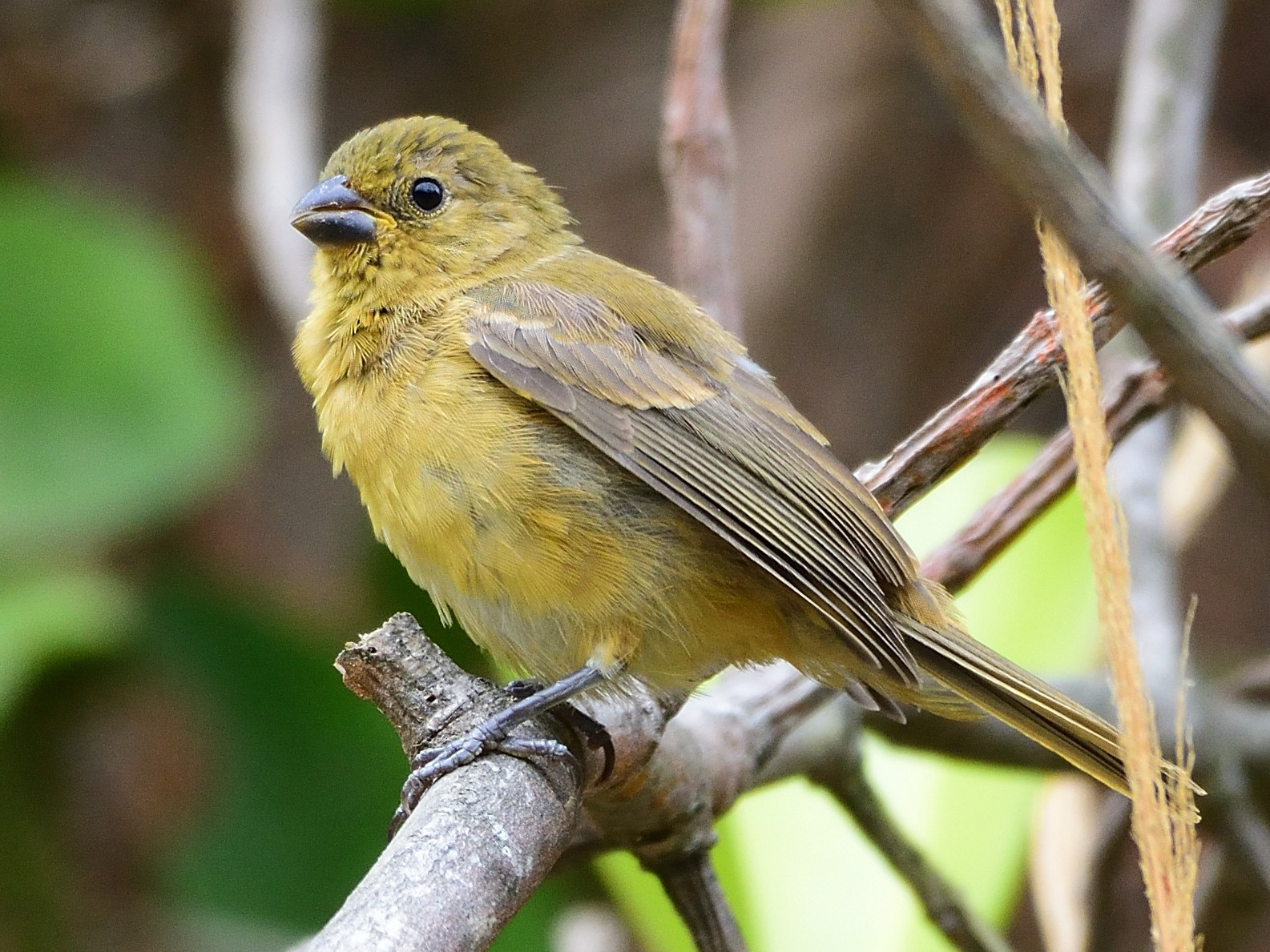 Yellow-bellied Seedeater - Ad Konings