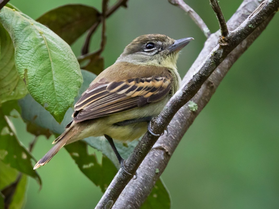 White-winged Becard - Lars Petersson