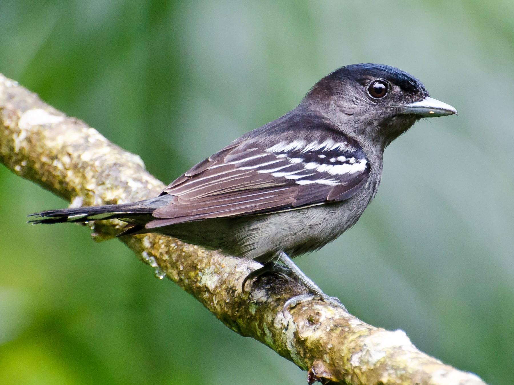 White-winged Becard - Marcos Eugênio Birding Guide