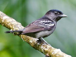 - White-winged Becard