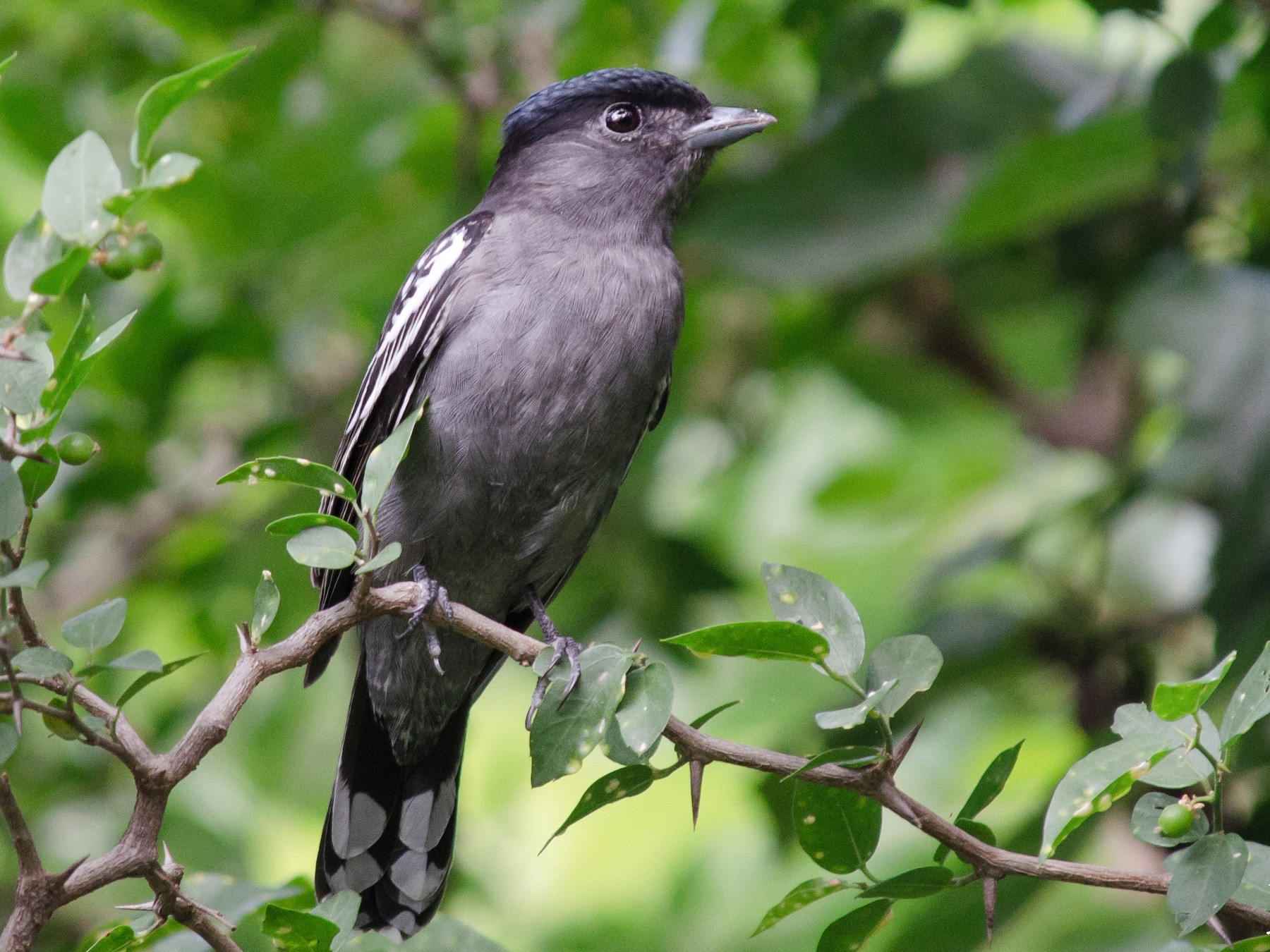 White-winged Becard - Iván Eroles