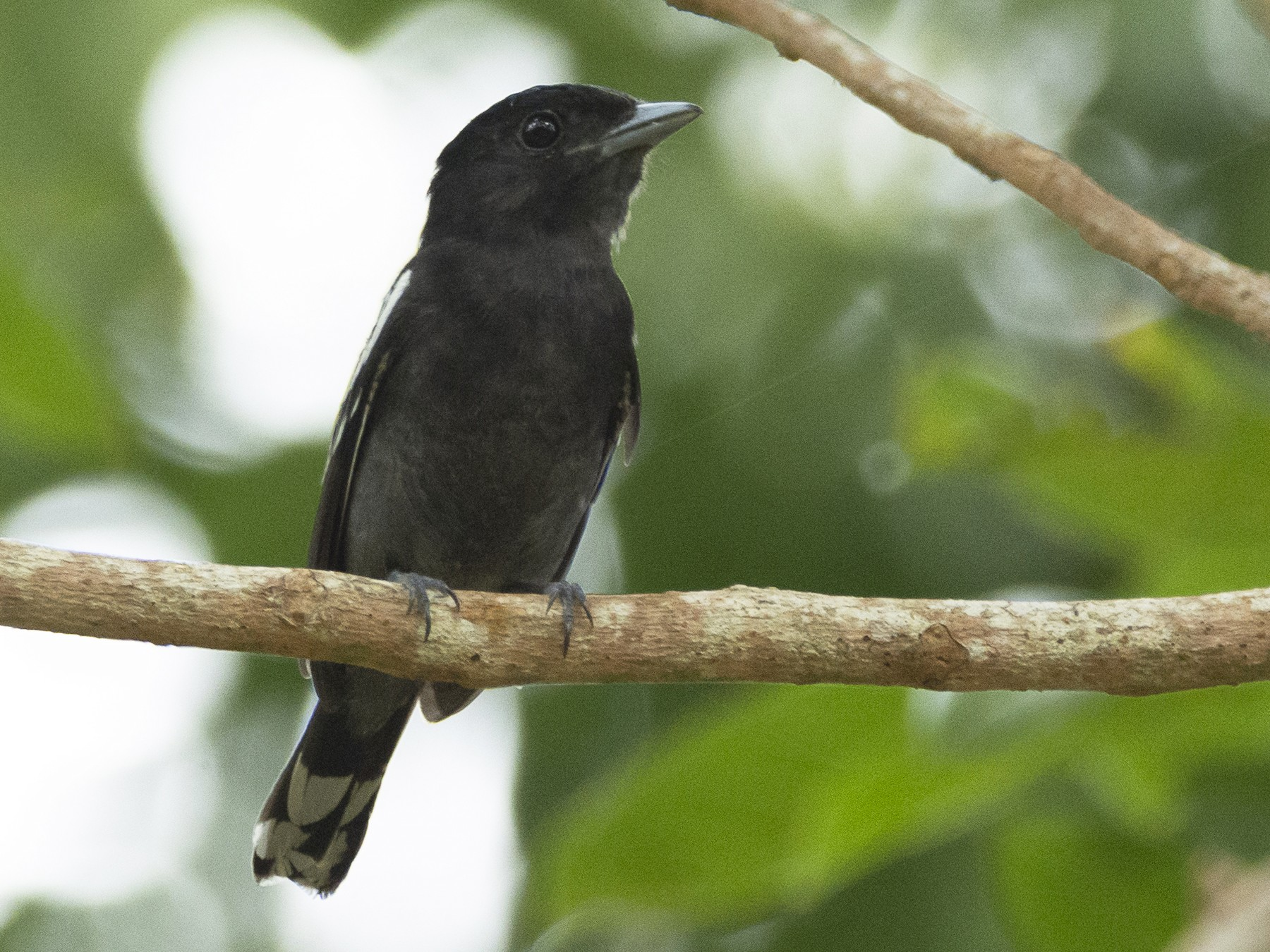 White-winged Becard - Jerome Foster