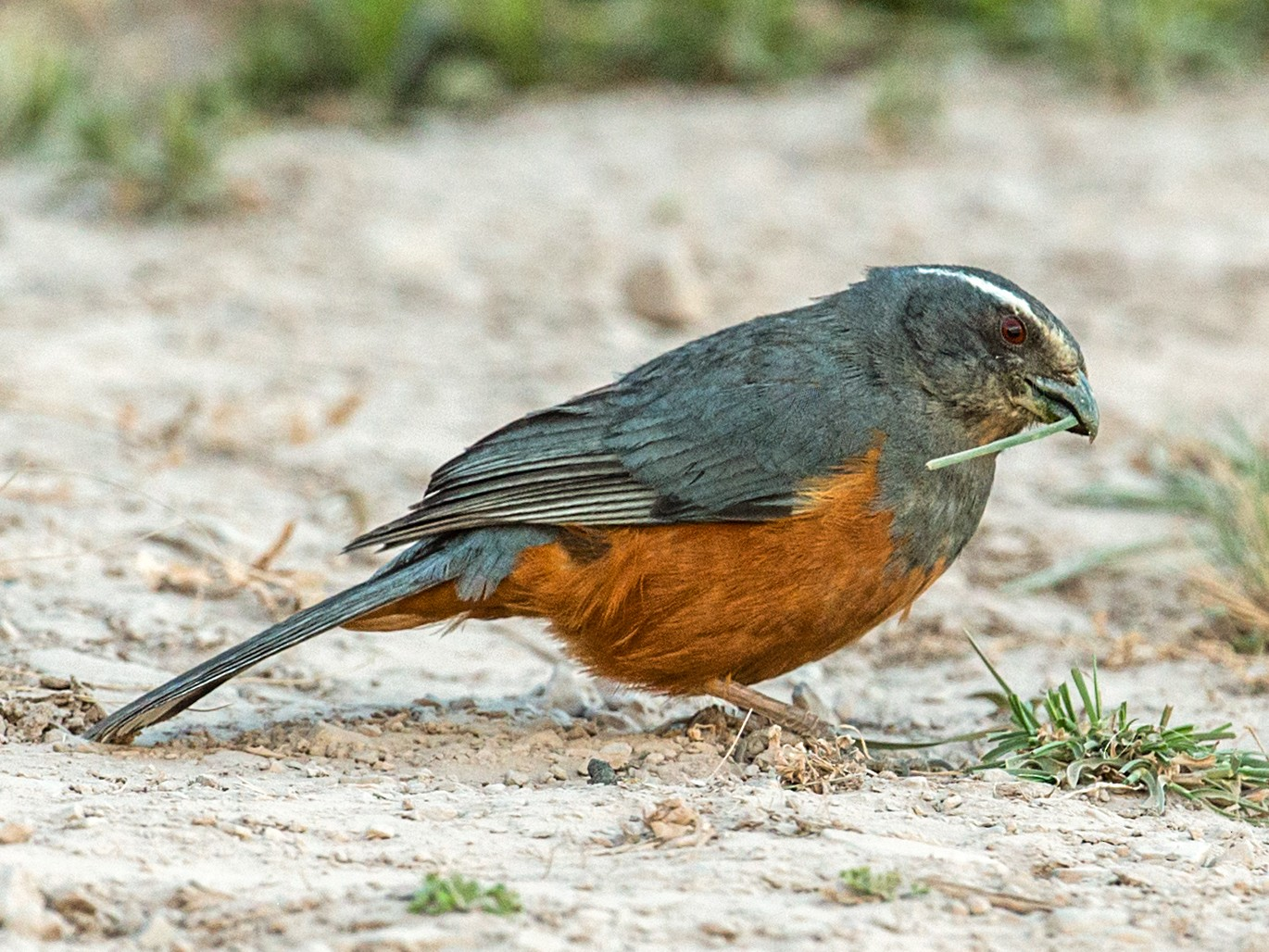 Rufous-bellied Mountain-Tanager - Nick Athanas