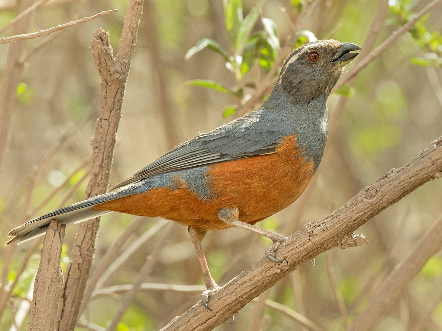Rufous-bellied Mountain-Tanager - Sam Woods