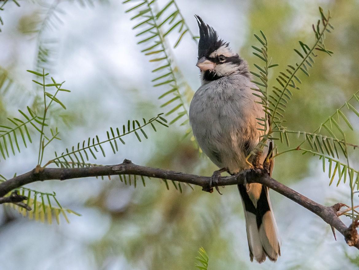 Black-crested Finch - Mauricio Schmithalter