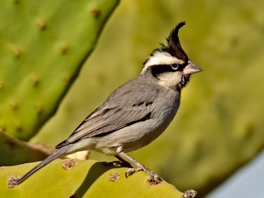 Black-crested Finch - Carlos De Biagi