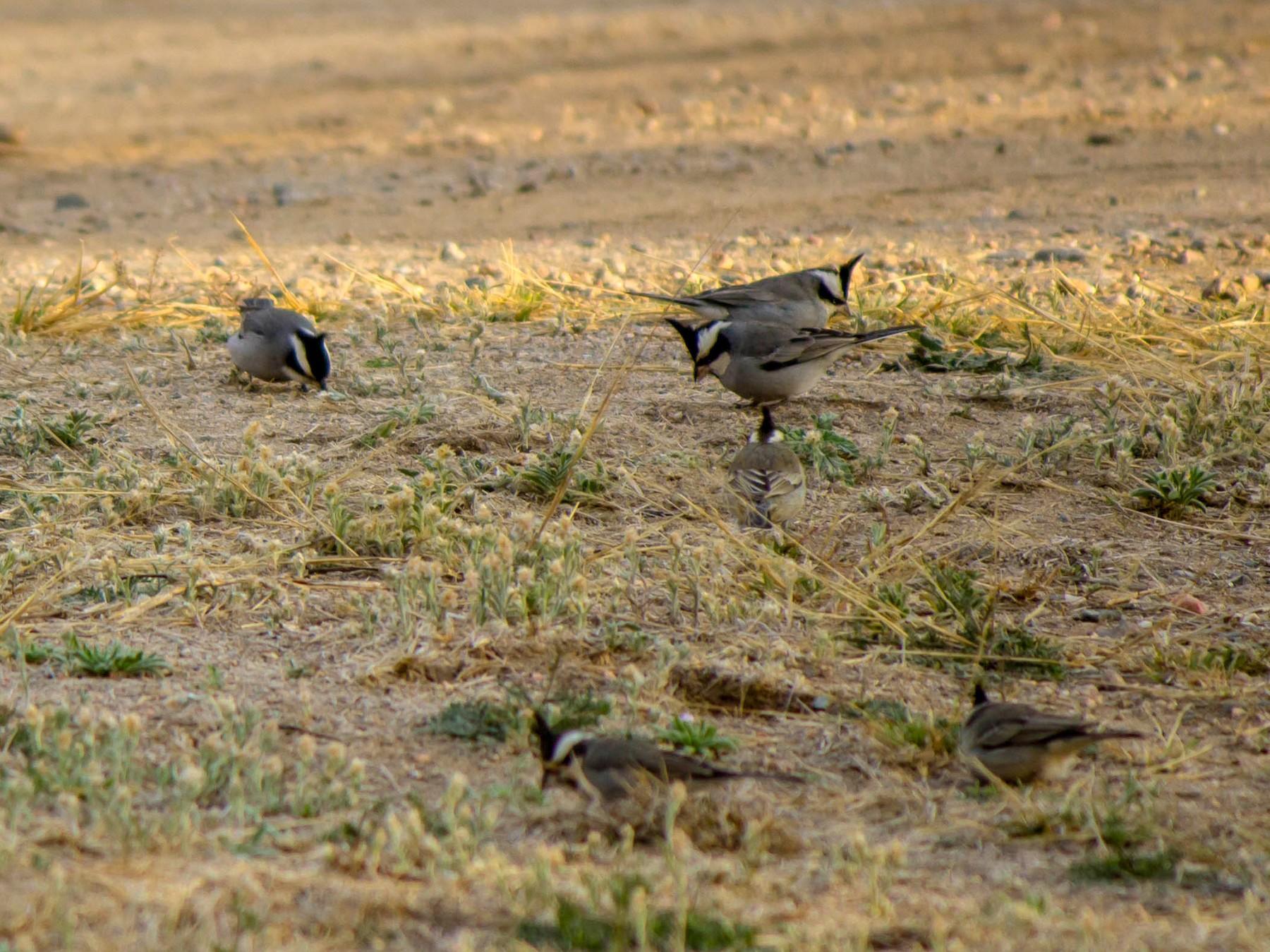 Black-crested Finch - Hernán Rojo