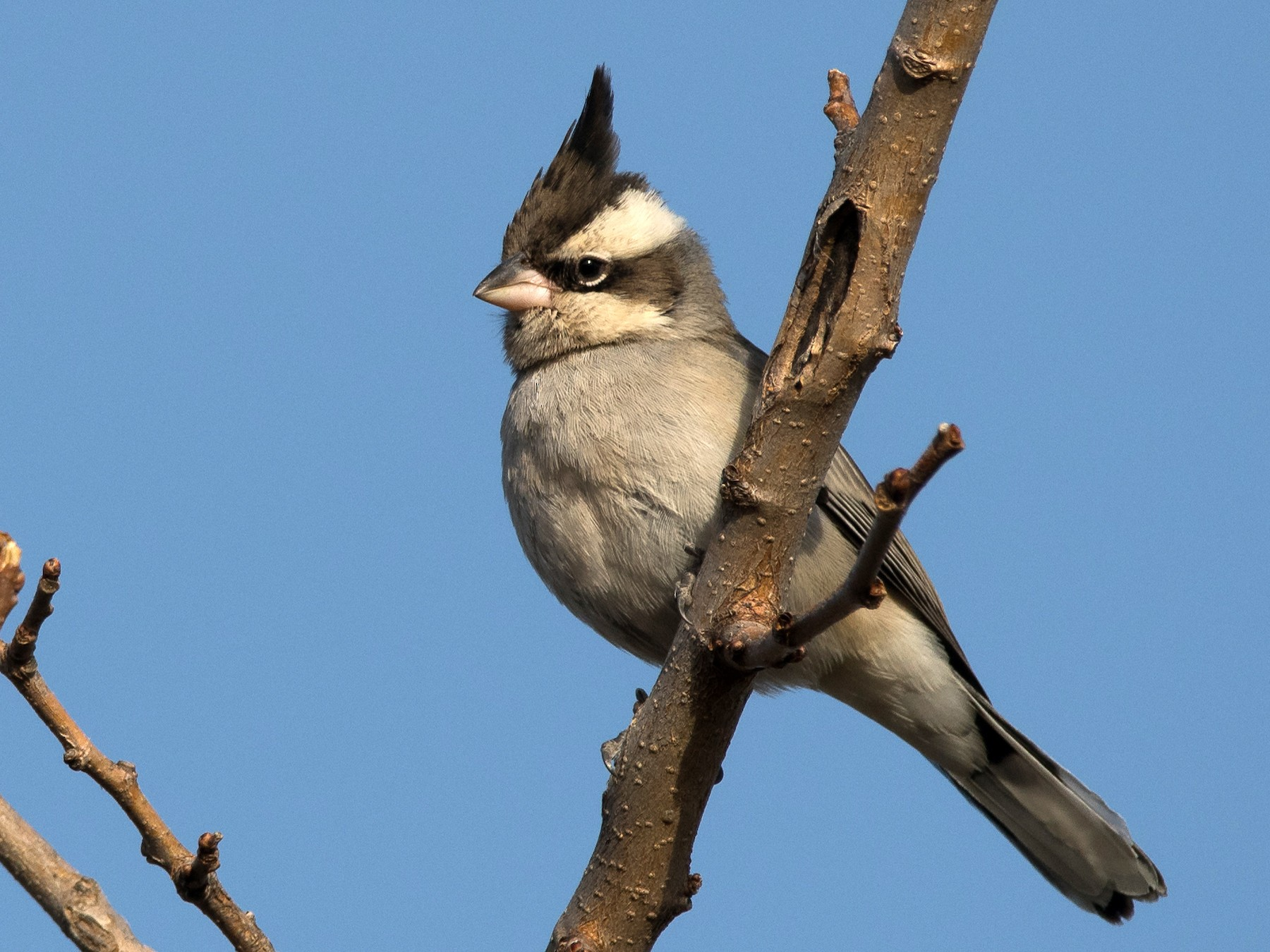 Black-crested Finch - Pablo Re