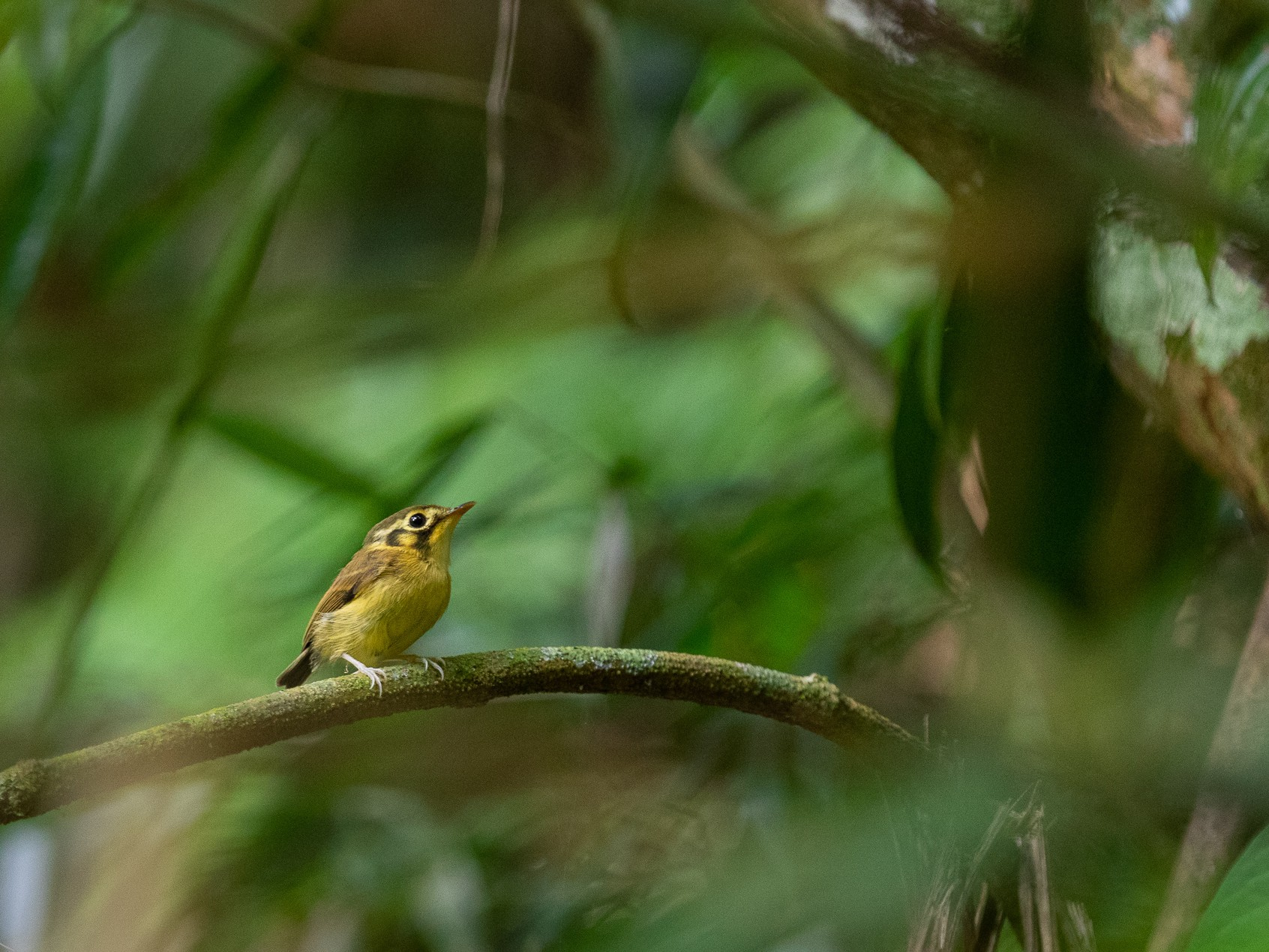 White-throated Spadebill - Abner Terribili