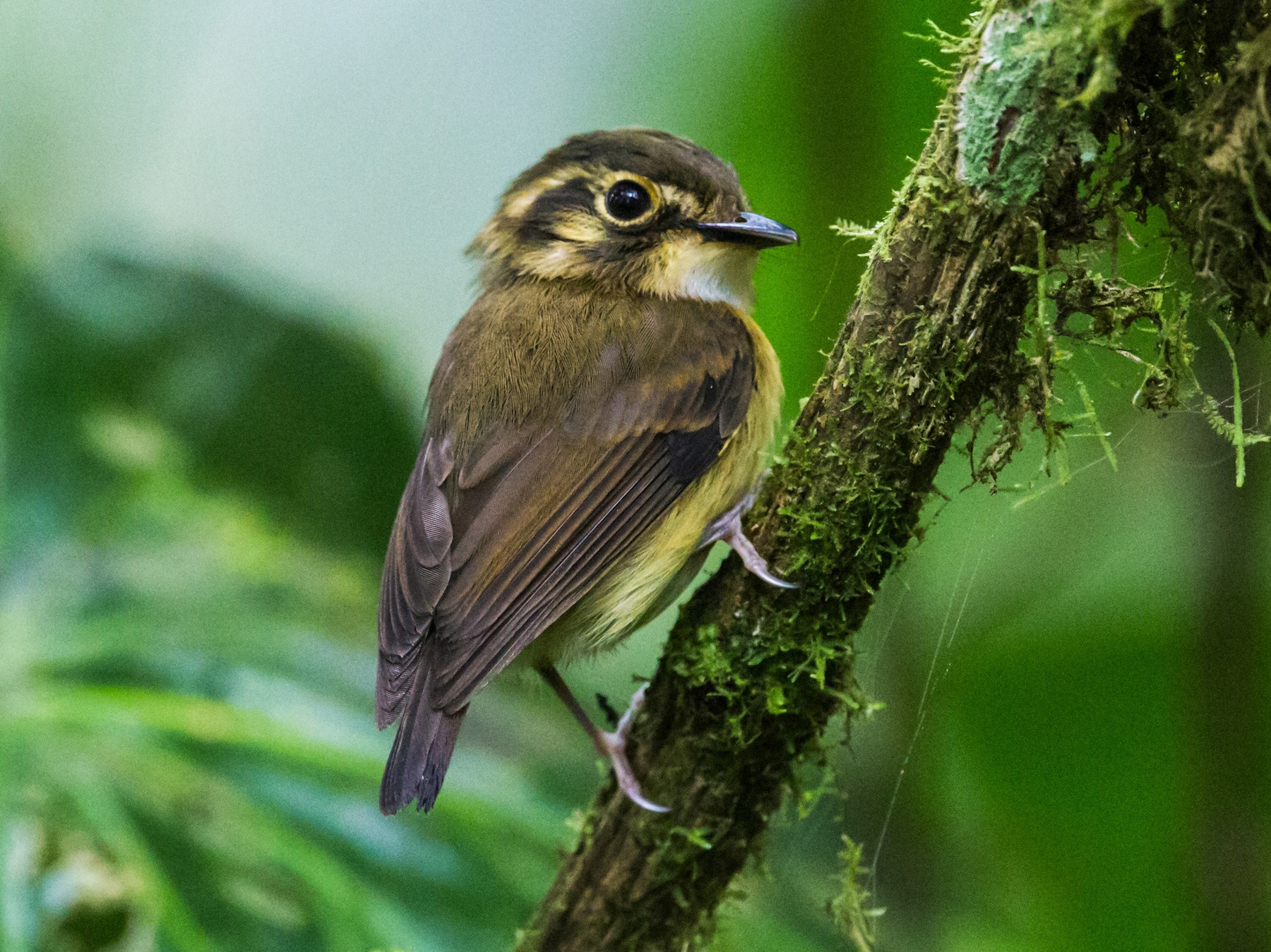 White-throated Spadebill - Nick Athanas