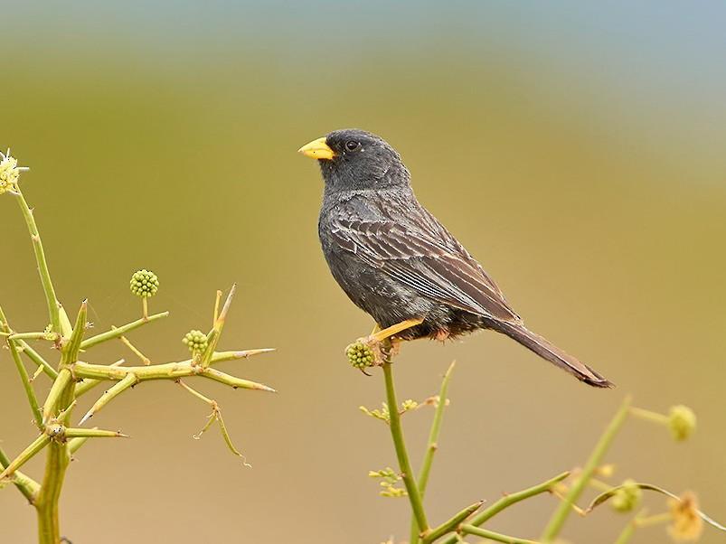 Carbonated Sierra-Finch - Agustín Esmoris (Birding Puerto Madryn | Tours)