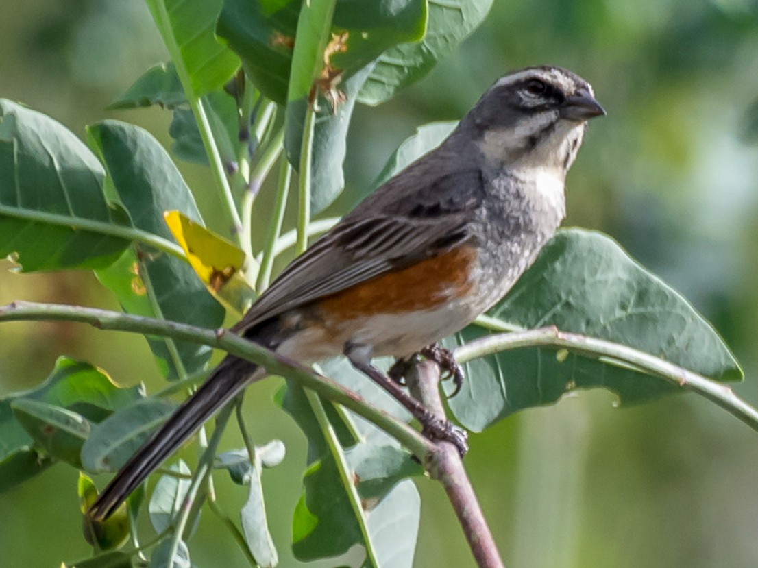 Rufous-sided Warbling-Finch - Jorge Omar Torres
