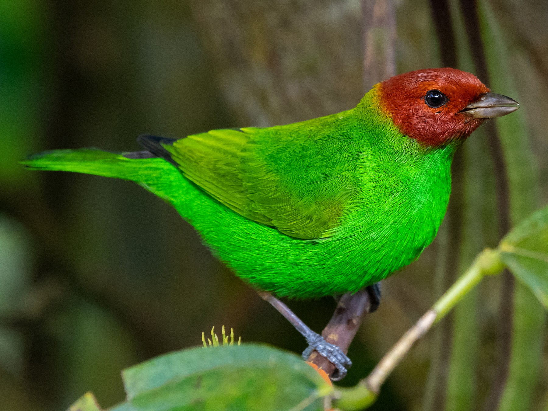 Bay-headed Tanager - Mathurin Malby